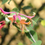 すいかずら(吸葛・忍冬)Lonicera japonica_0 (5)