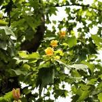 ゆりのき(百合の木)Liriodendron tulipifera_0 (2)