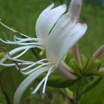 すいかずら(吸葛・忍冬)Lonicera japonica_0 (2)