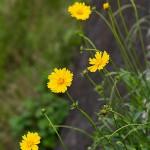 おおきんけいぎく(大金鶏菊)Coreopsis lanceolata_0 (2)