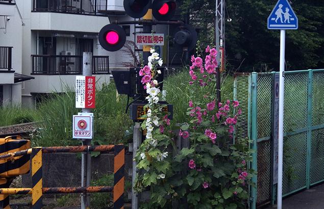 たちあおい (立葵)Althaea rosea_0 (1)