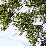 ゆりのき(百合の木)Liriodendron tulipifera_0 (4)