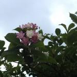 はこねうつぎ(箱根空木)Weigela coraeensis%0A_0 (4)