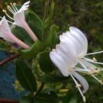 すいかずら(吸葛・忍冬)Lonicera japonica_0 (7)