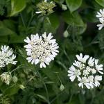 オルレア グランディフローラ Orlaya grandiflora_0 (2)