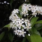おおかなめもち(大要黐)Photinia serratifolia_0