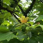 ゆりのき(百合の木)Liriodendron tulipifera_0 (1)