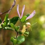 すいかずら(吸葛・忍冬)Lonicera japonica_0 (4)
