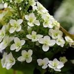 かしわばあじさい(柏葉紫陽花)Hydrangea quercifolia_0