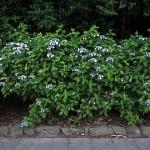 がくあじさい(萼紫陽花)Hydrangea macrophylla f.normalis_0 (4)