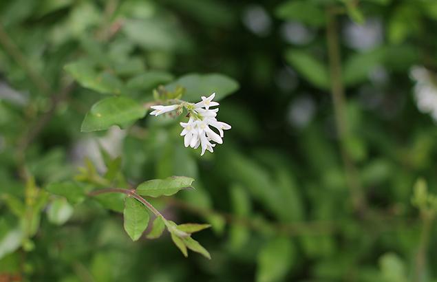 いぼたのき(水蝋の木 )Ligustrum obtusifolium_0