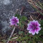 ぜにあおい(銭葵)Malva sylvestris var. mauritiana_0 (2)