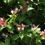 はこねうつぎ(箱根空木)Weigela coraeensis%0A_0 (2)
