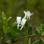 すいかずら(吸葛・忍冬)Lonicera japonica_0 (1)