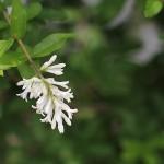 いぼたのき(水蝋の木 )Ligustrum obtusifolium_0 (1)