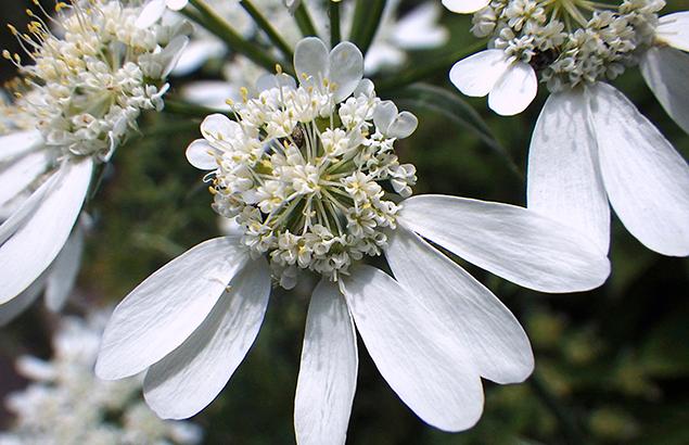 オルレア グランディフローラ Orlaya grandiflora_0 (3)