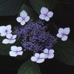 がくあじさい(萼紫陽花)Hydrangea macrophylla f.normalis_0 (3)