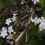 はくちょうげ(白丁花)Serissa japonica_0 (3)