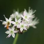 のびる (野蒜)Allium macrostemon_0 (5)