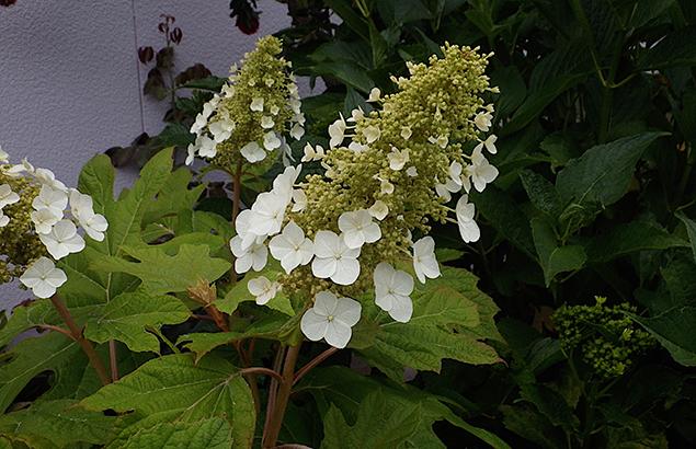 かしわばあじさい(柏葉紫陽花)Hydrangea quercifolia_0 (2)
