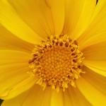おおきんけいぎく(大金鶏菊)Coreopsis lanceolata_0