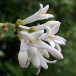 いぼたのき(水蝋の木 )Ligustrum obtusifolium_0 (3)