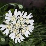 オルレア グランディフローラ Orlaya grandiflora_0 (1)
