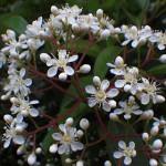 おおかなめもち(大要黐)Photinia serratifolia_0 (5)