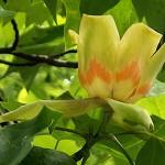 ゆりのき(百合の木)Liriodendron tulipifera_0