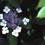 がくあじさい(萼紫陽花)Hydrangea macrophylla f.normalis_0 (1)