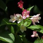 はこねうつぎ(箱根空木)Weigela coraeensis%0A_0 (1)