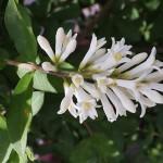 いぼたのき(水蝋の木 )Ligustrum obtusifolium_0 (2)