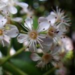おおかなめもち(大要黐)Photinia serratifolia_0 (4)