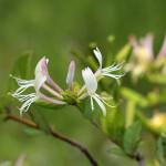 すいかずら(吸葛・忍冬)Lonicera japonica_0 (3)