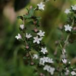 はくちょうげ(白丁花)Serissa japonica_0