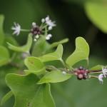 のびる (野蒜)Allium macrostemon_0 (4)