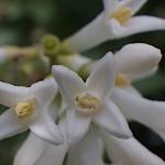 いぼたのき(水蝋の木 )Ligustrum obtusifolium_0 (4)