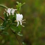 すいかずら(吸葛・忍冬)Lonicera japonica_0