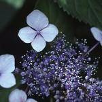 がくあじさい(萼紫陽花)Hydrangea macrophylla f.normalis_0 (2)
