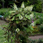 かしわばあじさい(柏葉紫陽花)Hydrangea quercifolia_0 (1)
