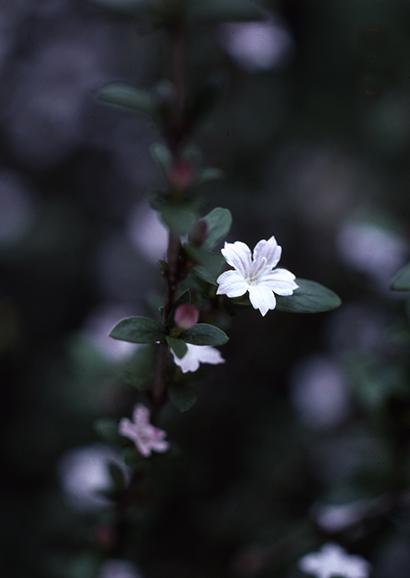 はくちょうげ(白丁花)Serissa japonica_0 (4)