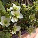 かしわばあじさい(柏葉紫陽花)Hydrangea quercifolia_0 (3)