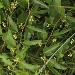 やまのいも(山の芋)Dioscorea japonica_0 (1)