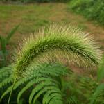 えのころぐさ (狗尾草 )Setaria viridis_0 (2)