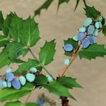 ひいらぎ(柊・疼木・柊木)Osmanthus heterophyllus_0 (2)