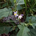 わるなすび(悪茄子)Solanum carolinense _0 (3)