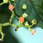 やぶからし(薮芥子)Cayratia japonica_0 (1)