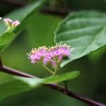 こむらさき(小紫)Callicarpa dichotoma_0 (3)