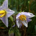 わるなすび(悪茄子)Solanum carolinense _0 (2)