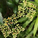 やぶからし(薮芥子)Cayratia japonica_0 (4)